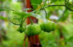 在香料种植园-甜椒-种植的绿色辣椒的果实 免版税库存图片