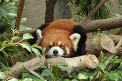 在香港海洋公园的红熊猫 免版税库存照片