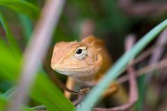 在香茅中的蜥蜴 免版税库存图片
