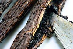在香草荚里面,刮种子,宏观射击的刀子 免版税库存照片
