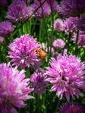 在香葱开花特写镜头的蜂蜜蜂在犹他美国美国 免版税库存照片