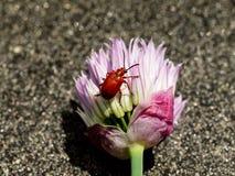 在香葱的好的百合叶子甲虫开花- Lilioceris lilii 免版税库存照片