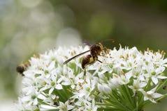 在香葱花的一个大黄蜂 免版税库存照片