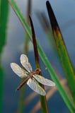 在香蒲叶子的蜻蜓 免版税库存图片