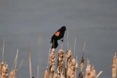 在香蒲的美洲红翼鸫 库存照片