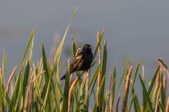 在香蒲的美洲红翼鸫 免版税库存照片