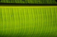 在香蕉叶子下 免版税库存图片