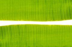 在香蕉叶子之间的空间 库存图片