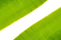 在香蕉叶子之间的空间 库存照片