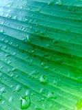 在香蕉叶子的各种各样的绿色 免版税图库摄影