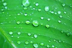 在香蕉叶子的水下落在雨以后 库存照片