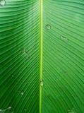 在香蕉叶子的水下落 与雨珠的绿色卡文迪许叶子样式 库存图片