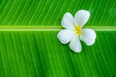 在香蕉叶子的白色羽毛 图库摄影