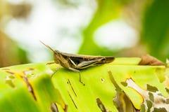 在香蕉叶子的蚂蚱崽 图库摄影