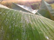 在香蕉叶子的雨珠在农场 免版税库存图片