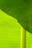 在香蕉叶子的露水 库存照片