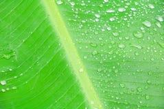 在香蕉叶子纹理的水下落本质上背景精选的焦点的与浅景深与拷贝空间的增加文本 免版税库存照片