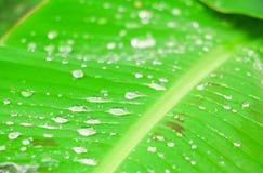 在香蕉叶子纹理的水下落本质上背景精选的焦点的与浅景深与拷贝空间的增加文本 免版税图库摄影