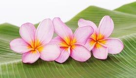 在香蕉叶子背景的赤素馨花或羽毛花 免版税库存图片
