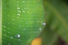在香蕉叶子背景的雨下落 图库摄影