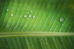 在香蕉叶子背景的雨下落 免版税图库摄影