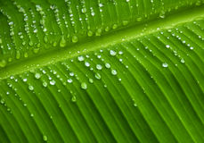 在香蕉叶子背景的雨珠 库存照片