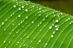在香蕉叶子背景的雨珠 免版税图库摄影
