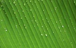 在香蕉叶子背景的雨珠 免版税库存图片