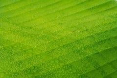 在香蕉叶子软的焦点纹理的露水 库存照片