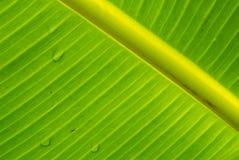在香蕉叶子软的焦点纹理的露水 库存图片