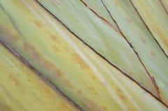 在香蕉吠声植物的样式 库存图片