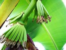 在香蕉开花的小香蕉有香蕉绿色叶子的 库存照片