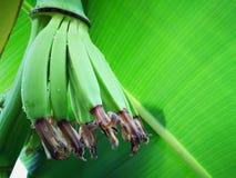在香蕉开花的小香蕉有香蕉绿色叶子的 免版税库存照片