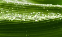 在香蕉树叶子的雨下落。 免版税库存图片