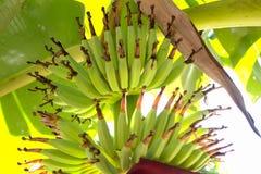 在香蕉树束的特写镜头香蕉 免版税库存照片