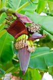 在香蕉树的一朵大花 免版税库存图片