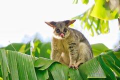 在香蕉树的共同的Brushtail负鼠 图库摄影