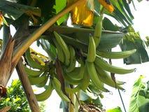 在香蕉树的大绿色香蕉 垫铁香蕉 免版税库存照片