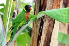 在香蕉树的彩虹Lorikeet 图库摄影