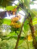 在香蕉树的煮熟的香蕉 库存照片