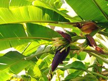 在香蕉树的生长香蕉开花在庭院里 免版税库存照片