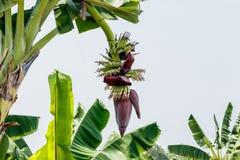 在香蕉树的香蕉开花在庭院里 库存照片