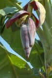 在香蕉树的香蕉开花 免版税库存图片