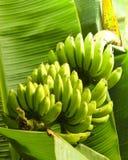 在香蕉树的香蕉束 库存图片
