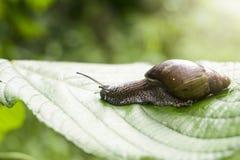 在香蕉棕榈绿色叶子的蜗牛 库存图片