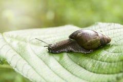 在香蕉棕榈绿色叶子的蜗牛 免版税库存图片