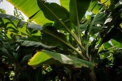 在香蕉种植园的叶子在大加那利岛海岛,西班牙 免版税库存图片