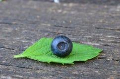 在香蜂草叶子的蓝莓 免版税库存照片