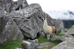 在马丘比丘的骆马,秘鲁 免版税库存照片