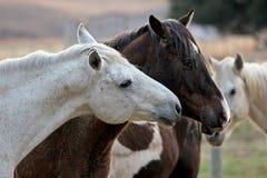 在马农场的两匹爱恋的马 库存图片